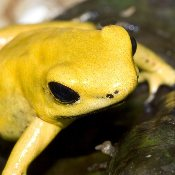 Phyllobates terribilis - 'Yellow'
