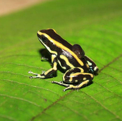Dendrobates truncatus 'Yellow'