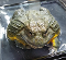 Giant African Bullfrog (Pyxicephalus adspersus) - aka the 'Pixie' frog